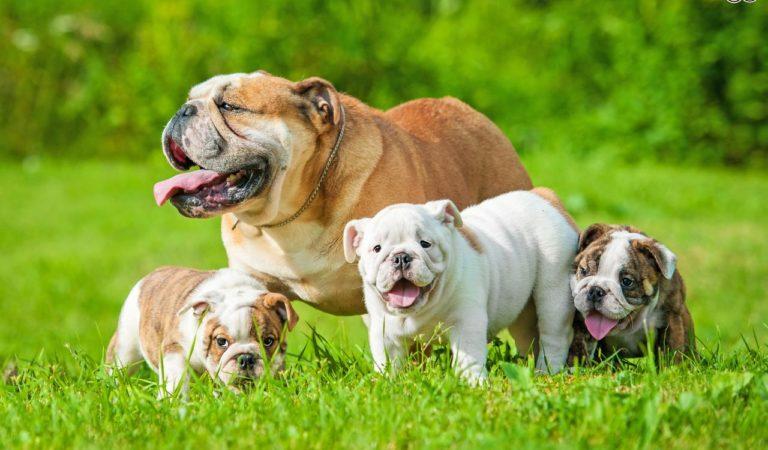 Buldog Köpekleri