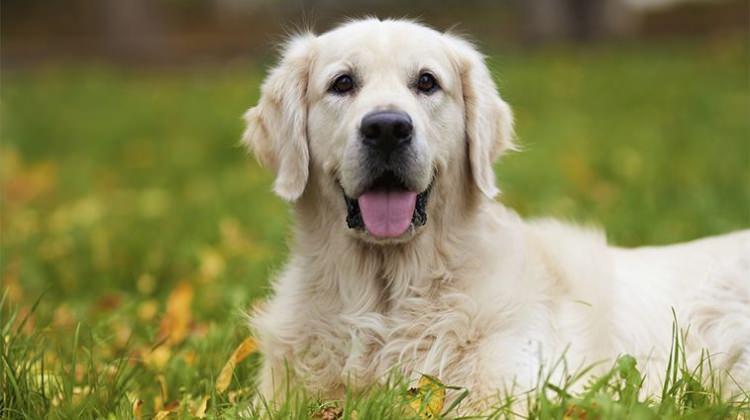 Köpekler ve Gençlik Hastalığı